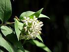 Glossy abelia, flower