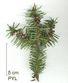 Algerian Fir, needles