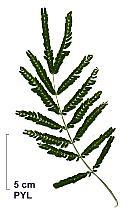 Silver Wattle, leaf