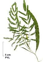Silver Wattle, pictures