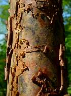 Paperbark Maple, bark