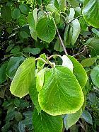 Kiwi Tree, leaf