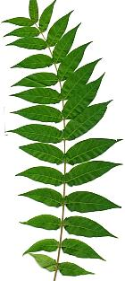 Tree of Heaven, leaf