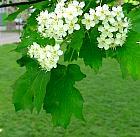 Wild Service tree, flower