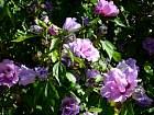 Rose of Sharon, Shrub Althea, flower