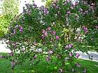 Rose of Sharon, Shrub Althea, outline