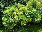 Japanese Aralia, outline