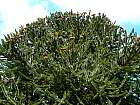 Monkey-Puzzle Tree, outline