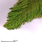 Norfolk Island Pine, scales