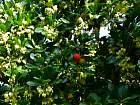 Strawberry Tree, flower