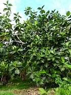 Breadfruit, outline