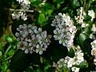 Black chokeberry, flower