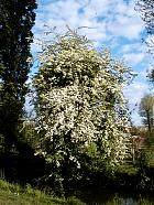 English Hawthorn, outline
