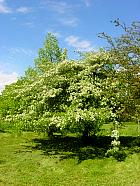 Hawthorn, outline