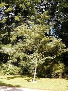 Cockspur Hawthorn, outline