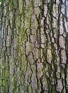 Italian Alder, bark