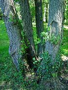 Gray Alder, trunk