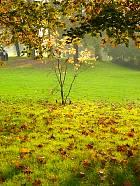 Common Smoke Tree, landscape