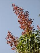Ponytail Palm, flower