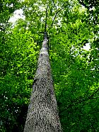 River Birch, trunk
