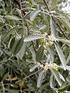Russian-olive, flower