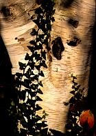 Himalayan Birch, bark