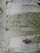 Paper Birch, Canoe Birch, bark