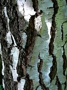 White Birch, bark