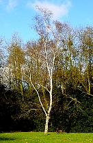 Common birch, outline