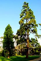 California Incense Cedar, outline