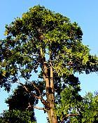California Incense Cedar, pictures