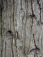California Incense Cedar, bark