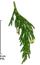 California Incense Cedar, flower
