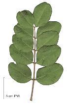 Carob Tree, leaf