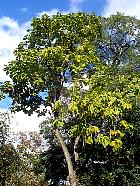 Southern Catalpa, outline