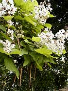 Southern Catalpa, flower