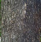 Cedar Of Lebanon, bark