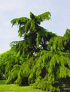 Deodar Cedar, outline