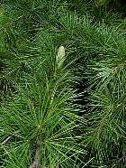 Deodar Cedar, flower
