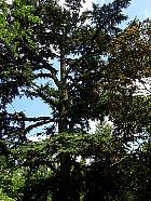 Cyprus cedar, outline