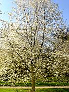 Cherry, landscape