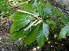 Spanish chestnut, flower