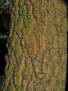 Turkey Oak, bark