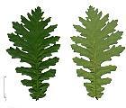 Hungarian Oak, leaf