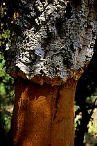 Cork Oak, bark