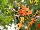 Pin Oak, Swamp Oak, leaf