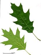 Northern Red Oak, leaf