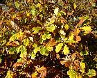 Sessile oak, leaf
