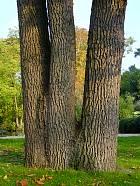 Sessile oak, trunk