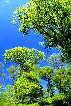 English Oak, Truffle Oak, Pedunculate Oak, landscape